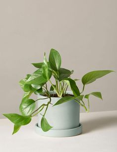 The Best Bathroom Plants to Keep in the Shower: Pothos Jade Jade Plants, Potted Plants, Indoor Plants, Indoor Garden, Best Bathroom Plants, Marble Queen Pothos, Pothos Plant, Plant Health, Spider Plants