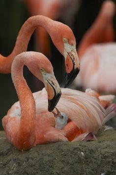 **Flamingo