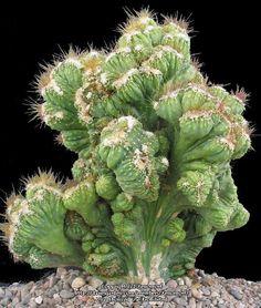 Crested Cereus variabilis Cereus fernambucensis f. cristate
