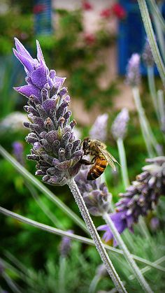 Bees and lavender: lavender is a great choice for a bee-friendly garden (and we love the scent). Lavender Blue, Lavender Fields, Lavender Flowers, Lavander, Beautiful Flowers, Beautiful Pictures, Buzz Bee, Bee Friendly, Malva