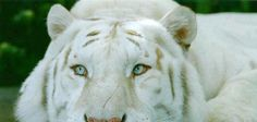 Totally Majestic ! Beautiful White Tiger ♥ ♥