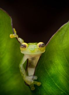 A glass frog, Hyalinobatrachium ruedai, peers through a leaf in the Choco of Colombia as we search for lost frogs. Pic by Robin Moore
