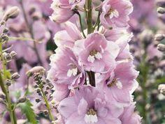 Juillet-Août-Septembre_Delphinium Magic fontaine 'Cherry Blossom' - Hauteur 75cm - Largeur 65cm_Croissance moyenne_Pour obtenir une seconde floraison, il faut rabattre les tiges à environ 25 cm du sol après la première floraison.