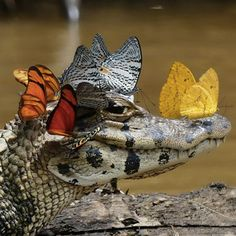 A Caiman Wearing a Crown of Butterflies Photographed by Mark Cowan