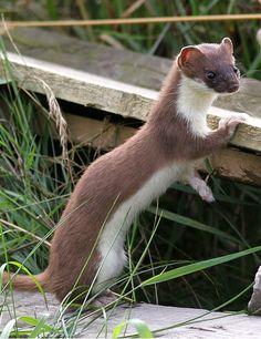 WEASEL.Widespread throughout Britain, weasels are our smallest and probably most numerous carnivores. They specialise in hunting small rodents. The weasel's small size enables it to search through tunnels and runways of mice and voles. Access to tunnels means weasels can hunt at any time of the day or year. They do not hibernate and can hunt even under deep snow.Young are weaned at 3-4 weeks and can kill efficiently at 8 weeks.