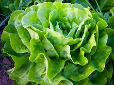 Do you want to start growing lettuce in your backyard garden? Here are a few tips on how to grow lettuce in the garden to improve your harvest! Fast Growing Vegetables, Planting Vegetables, Vegetable Garden, Small Backyard Gardens, Small Space Gardening, Gardening Tips, Big Backyard, Rustic Backyard, Gardening Books