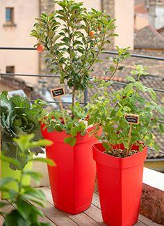 Des arbres fruitiers nains sur mon balcon. Cultiver des fruitiers et obtenir des récoltes savoureuses, c'est possible sur une terrasse et même un balcon !