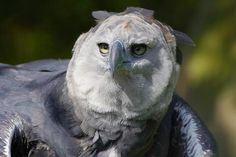 The harpy eagle's smaller gray feathers create a facial disk that may focus sound waves to improve the bird's hearing, similar to owls. Zoo Animals, Cute Baby Animals, Steller's Sea Eagle, Types Of Eagles, Harpy Eagle, Cute Animal Drawings Kawaii, Baby Horses, San Diego Zoo, Cute Animal Videos