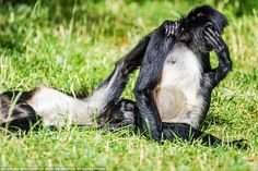 Embarrassed monkey: Other judges in the Comedy Wildlife Photography Awards are photographers Tom Sullam and Will Burrard-Lucas