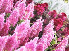 La célosie (Celosia argentea) est une plante annuelle à la floraison originale, en crête de coq (Cristata) ou en plumeaux (Plumosa). Conseils de semis et de culture.