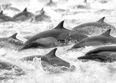 "Common Dolphin Pod ""On The Run"""