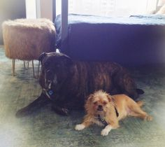 2chainz and his brother Winston -- #brusselsgriffon his personality is as big as Winston even if his size isn't  -every day he's brusseling -  xo