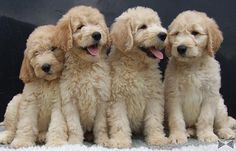 golden doodles puppies