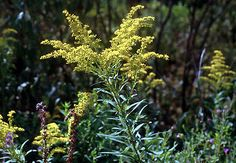 Goldenrod - not what you are allergic to... but used as a tea, and for many illnesses