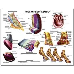 Equine Foot and Hoof Anatomy Chart Horse
