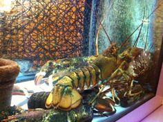 live lobsters www.ubais.it