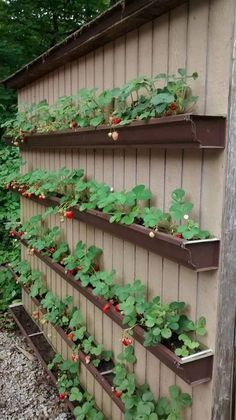 Strawberries grown in gutters on the side of the shed/garage/shop/house
