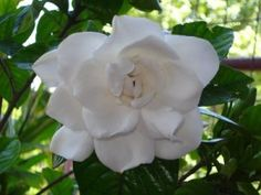 For Westerners, white jasmine is a symbol of affection, eternal lYou can find Jasmine and more on our website. Rose Companion Plants, Companion Planting, White Jasmine, Jacked Up Trucks, Eternal Love, Begonia, Bonsai, Planting Flowers, Garden Sculpture