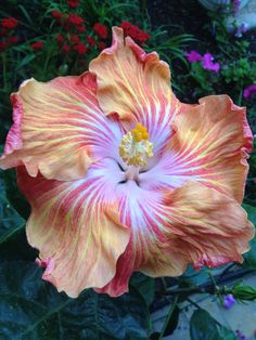 Thomas N Hibiscus Flowers, Flowers Nature, Exotic Flowers, Spring Flowers, List Of Flowers, Pretty Flowers, Hibiscus Rosa Sinensis, Leafy Plants, Home Garden Plants