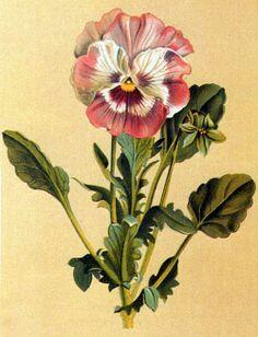 pansy cultivar, Les Pensées, an 1869 monograph by Jean-Pierre Barillet-Deschamps (1824-1873)