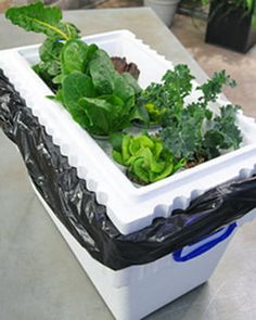 Upcycle that old styrofoam cooler as a practical hydroponic garden container. This is a low-cost way to garden, soil-free!