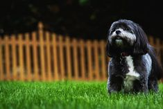Everything You Need to Know About a Shih Tzu and Pomeranian Mix Best Small Dog Breeds, Best Small Dogs, Dog Breeds That Dont Shed, Cute Dogs Breeds, Best Dogs, Small Breed, Shih Tzus, Shih Tzu Hund, Perro Shih Tzu