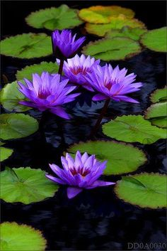 Water Lilies #flower #lilypad