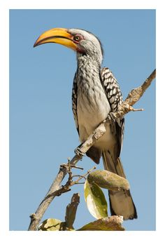 Yellow-billed hornbill, Moremi Game Reserve, Botswana, July 2008 by Ignacio Palacios on 500px