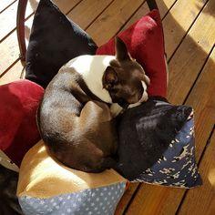 Handarbeit zum Kuscheln Boston Terrier, Dogs, Animals, Cuddling, Handarbeit, Animales, Boston Terriers, Animaux, Pet Dogs