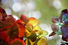 LÖwin.g: Gelebte Physik... Regenbogen auf Hibiskus ... Lichtbrechung ... rainbow on hydrangea ... light refraction
