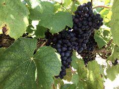 Black Spanish Grapes- 2016