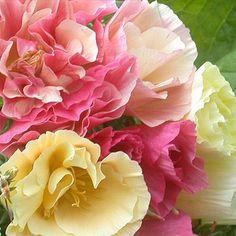 Poppy (Eschscholzia californica) 'Bridal Bouquet'