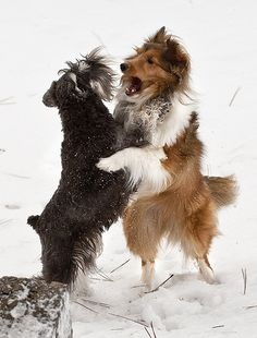Snow Dancing | Rainy and Dillon | SheltieBoy | Flickr