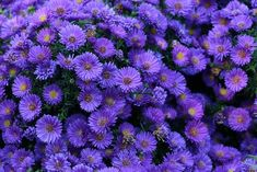 Purple Perrenial Flowers, Purple Flowering Plants, Purple Perennials, Long Blooming Perennials, Hardy Perennials, Flowers Perennials, Shade Plants, Purple Flowers, Planting Flowers