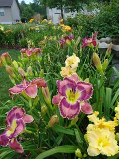 Pictures OF something or Pictures ABOUT something...   Daylily Blog ~ a girl and her garden - a daylily blog
