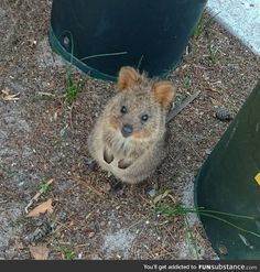 Day 251 of your daily dose of cute: quokka