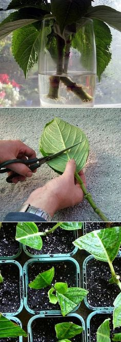 all-garden-world: Grow Hydrangea From Cutting