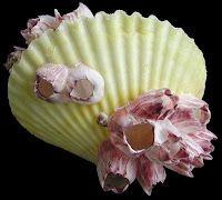 How To Clean Seashells And Preserve Seashells And Sea Life    by  Duke Davis