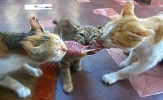 Cats Who Are Trying The Paleo Diet: Just the like cavecats used to eat