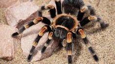 Arañas como mascotas Existen seres humanos que gozan al tener a las arañas como mascotas, algunos son amantes de su forma de vivir a otros les fascina lo aterrador y el daño que pueden provocar cuando se les molesta todo depende de que cual sea el tipo de araña que quieras tener, deberas verificar que en tu país no Insects, Animals, Shape, Types Of Spiders, Pets, Lovers, Live, Animales, Animaux