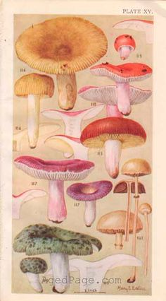 Field book of common gilled mushrooms : - Biodiversity Heritage Library Botanical Drawings, Botanical Illustration, Botanical Prints, Illustration Art, Illustrations, Fungi, Mushroom Art, Ecole Art, Natural History