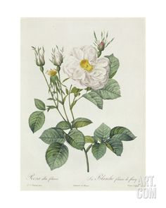Rosa Alba Foliacea Giclee Print by Pierre-Joseph Redouté at Art.com