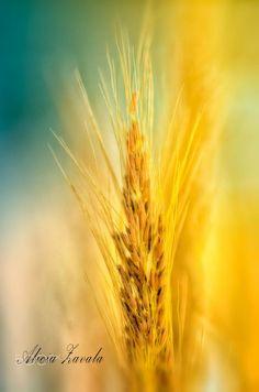 Fields of Gold by Alicia Zavala on 500px