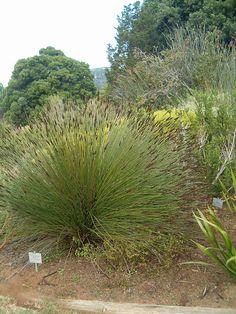 Restionaceae – Wikipedia