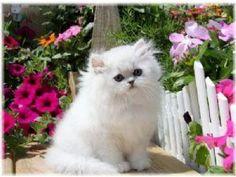tiny teacup Persian kittens