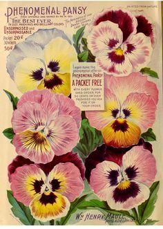 Phenomenal pansy. Maule's Silver Anniversary Seed Catalogue 1902