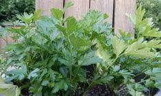 Выращивание петрушки листовой