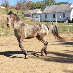 Varnish bay roan Appaloosa with brindle. Pretty Horses, Beautiful Horses, Animals Beautiful, Brindle Horse, Akhal Teke, Appaloosa, Dressage, Equestrian, Coats