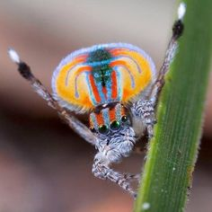 "| Am Museum of Natural History (@amnh) on Instagram: ""Tiny peacock spiders make up for size in pizzazz. Males, like Maratus volans pictured here, are…"" 