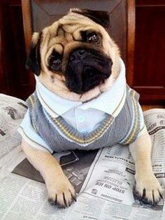 PUG IN A SWEATERVEST